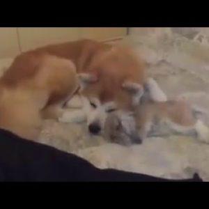 秋田犬とウサギのコラボ動画!種を超えた愛情に「平和」を感じる
